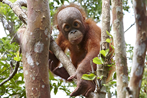 Orangutan Project blog